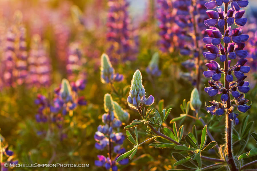 Lupine Light