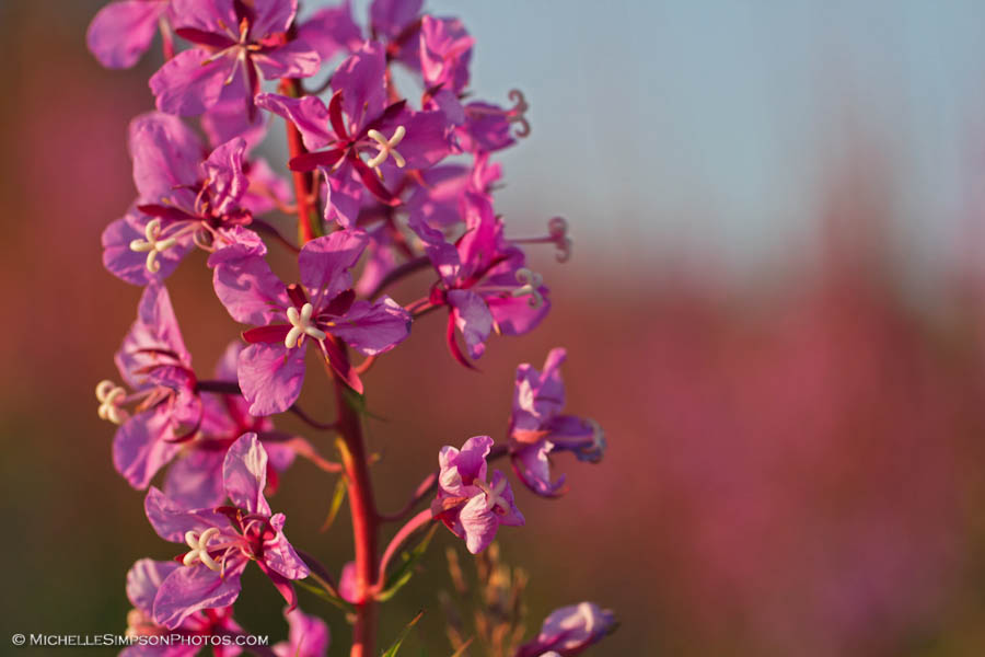 Sea of Pink by MSimpsonPhotos