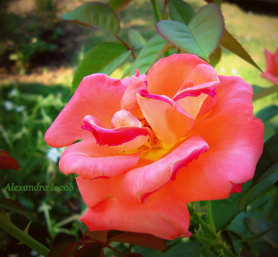 fraise rose by AlexBlood