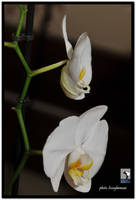 white orchid by liviugherman