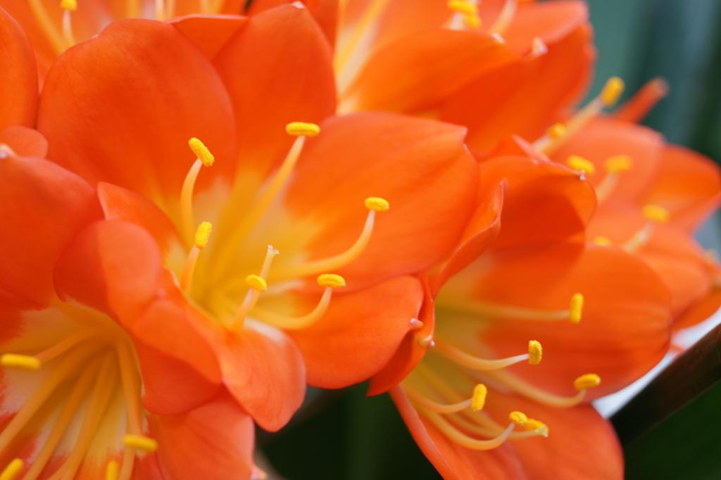 Orange flower 1 by Doris1991