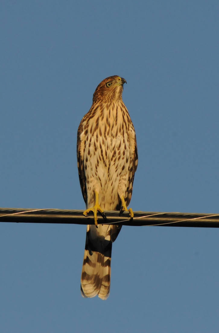 Cooper's Hawk by RayRupnow