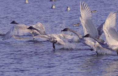 Young Trumpeter Swans by RayRupnow