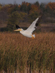 White Pelican by RayRupnow