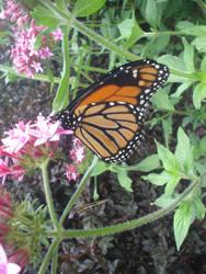 Monarch by twiggy101