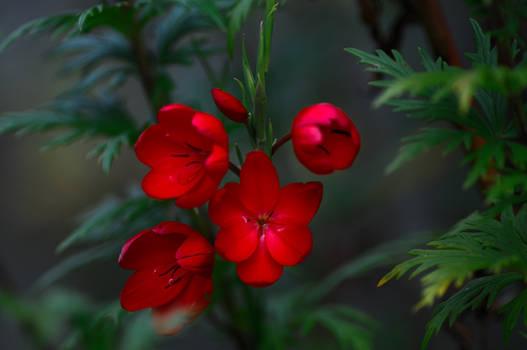 Hesperantha and Aconitum