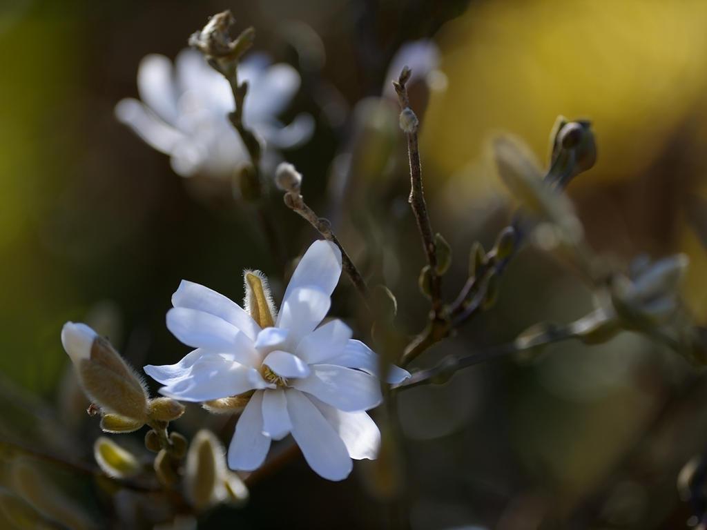 Magnolia Stellata by WestLothian