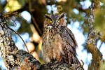 Submature Great Horned Owl