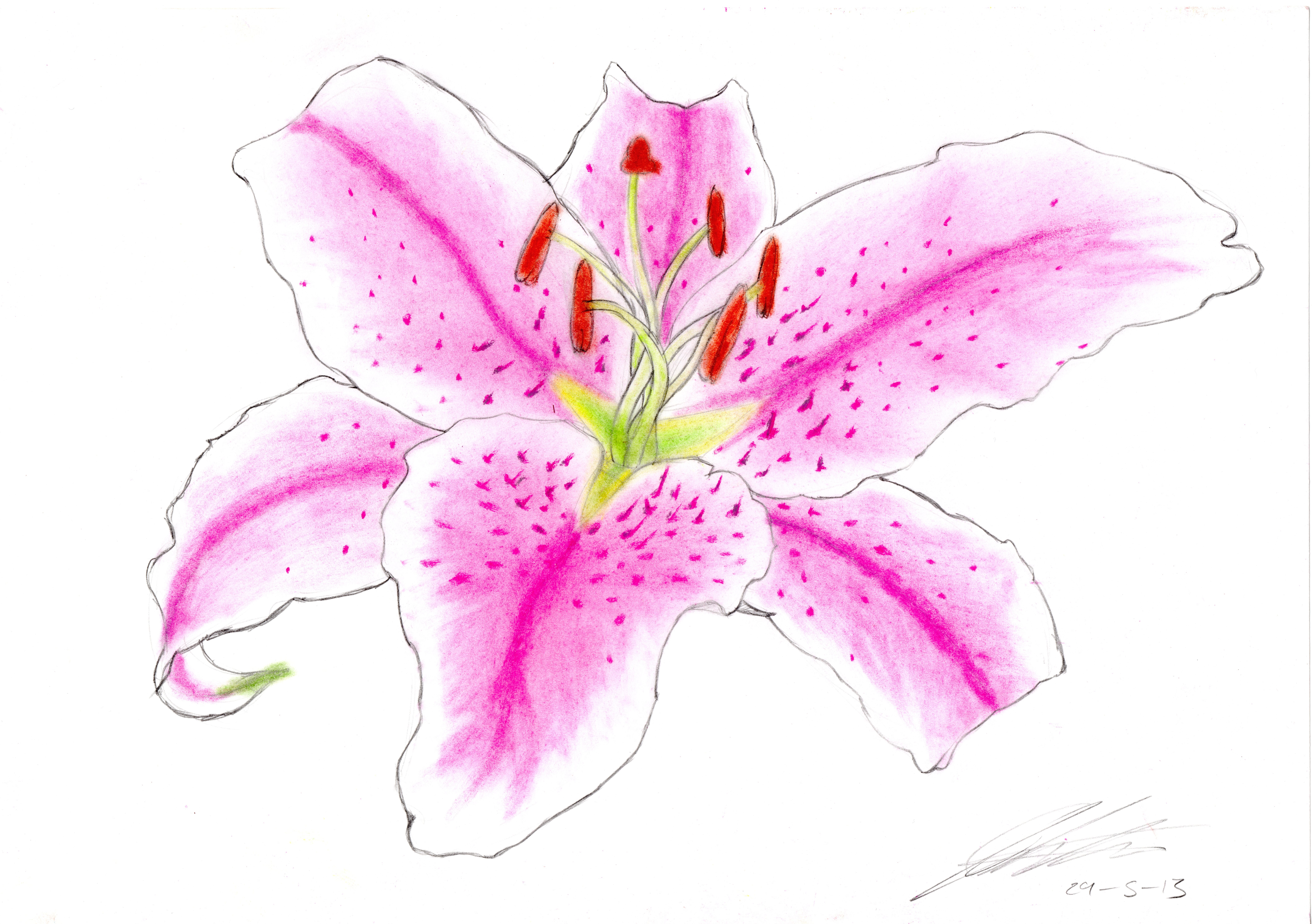 Pink Tiger Lily Flower Drawing Industrifo