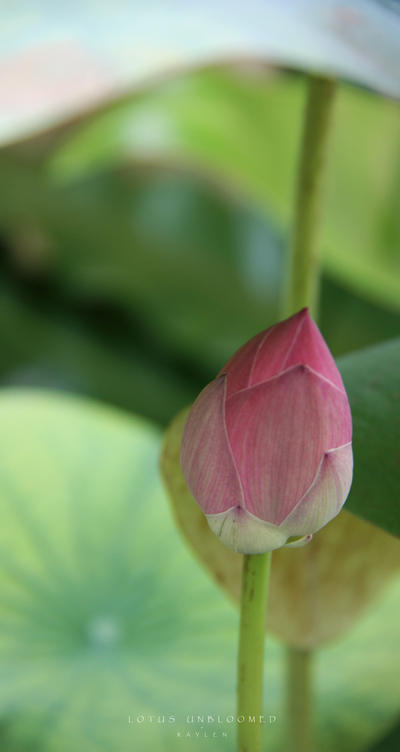 Lotus Unbloomed By Realmicsorcerer On Deviantart