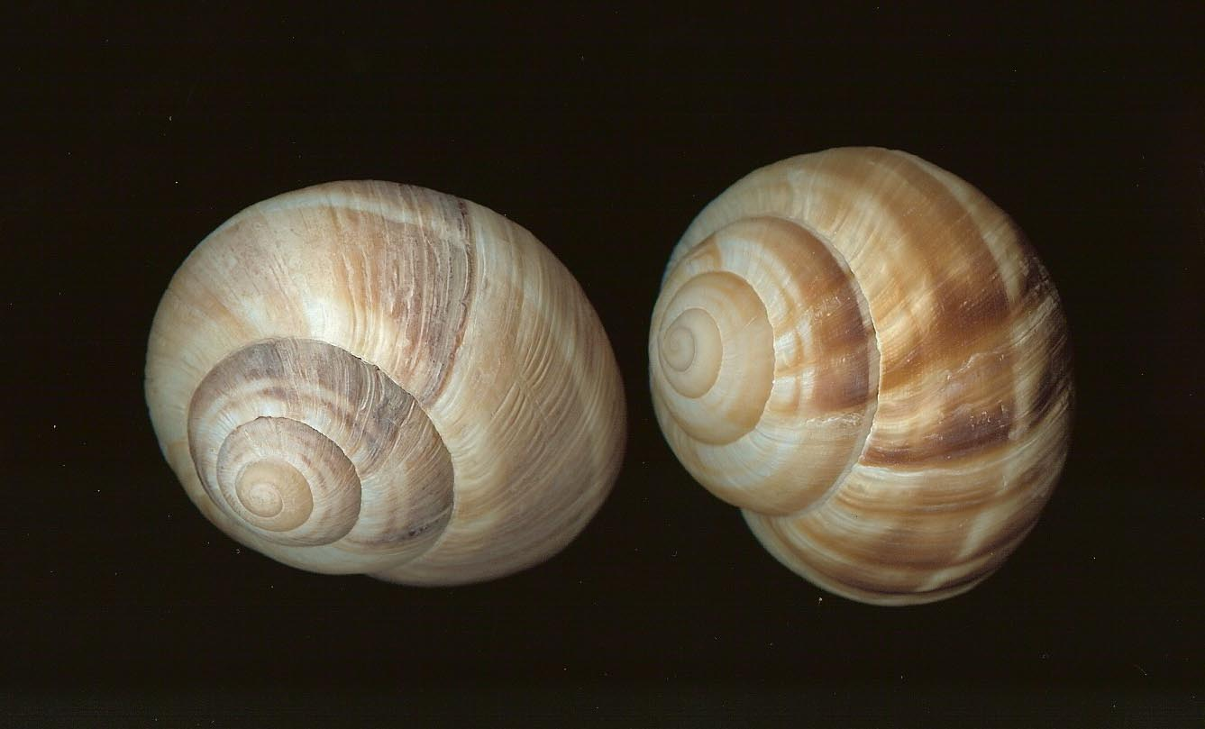 Snail Shell by idolhands Snail Shell