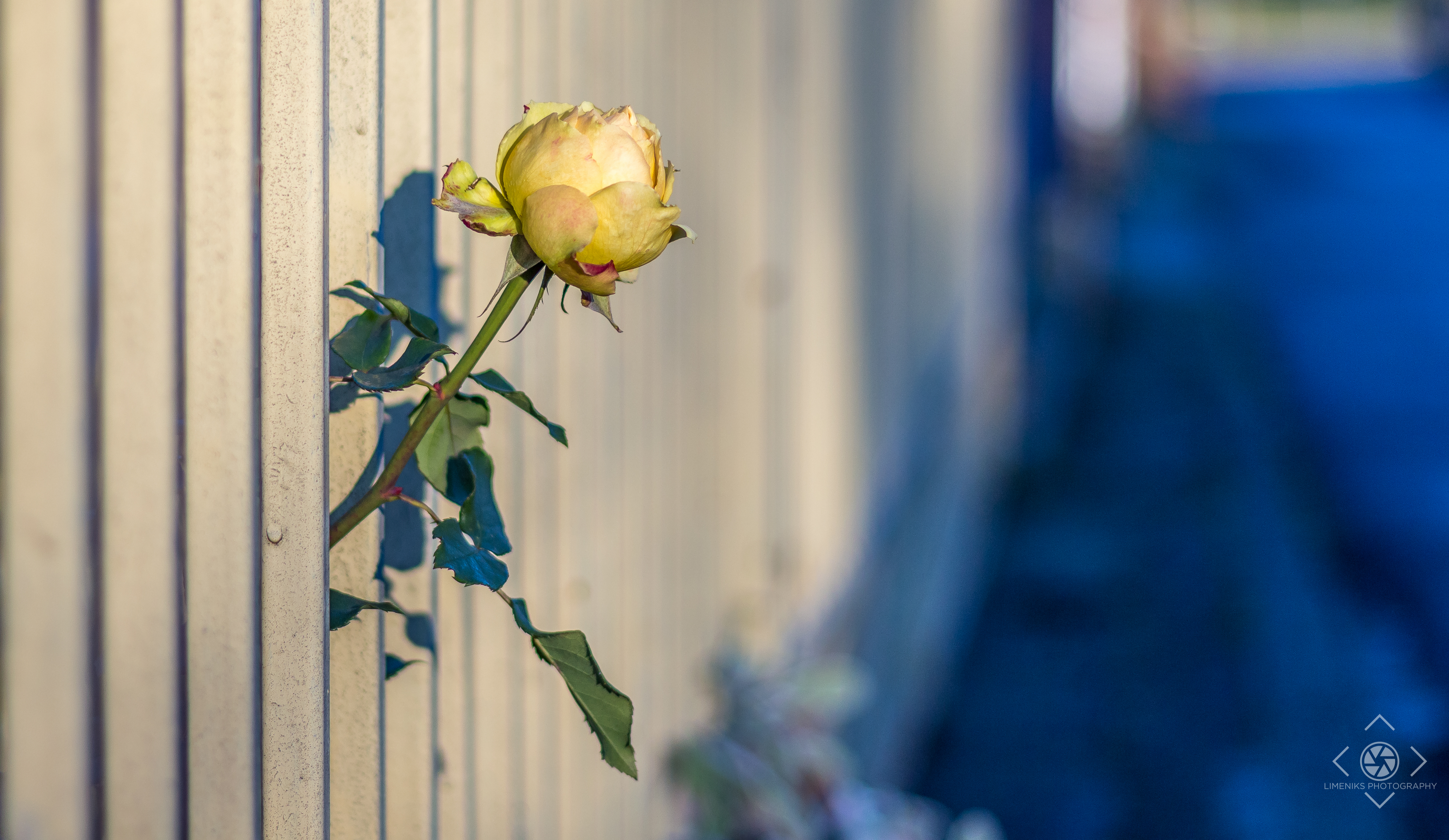 rose in fences Fences - spiteful meanness, abuse in many forms, words hurt denzel washington plays troy maxson and viola davis plays rose maxson in fences from paramount pictures directed by denzel washington from a screenplay by august wilson.