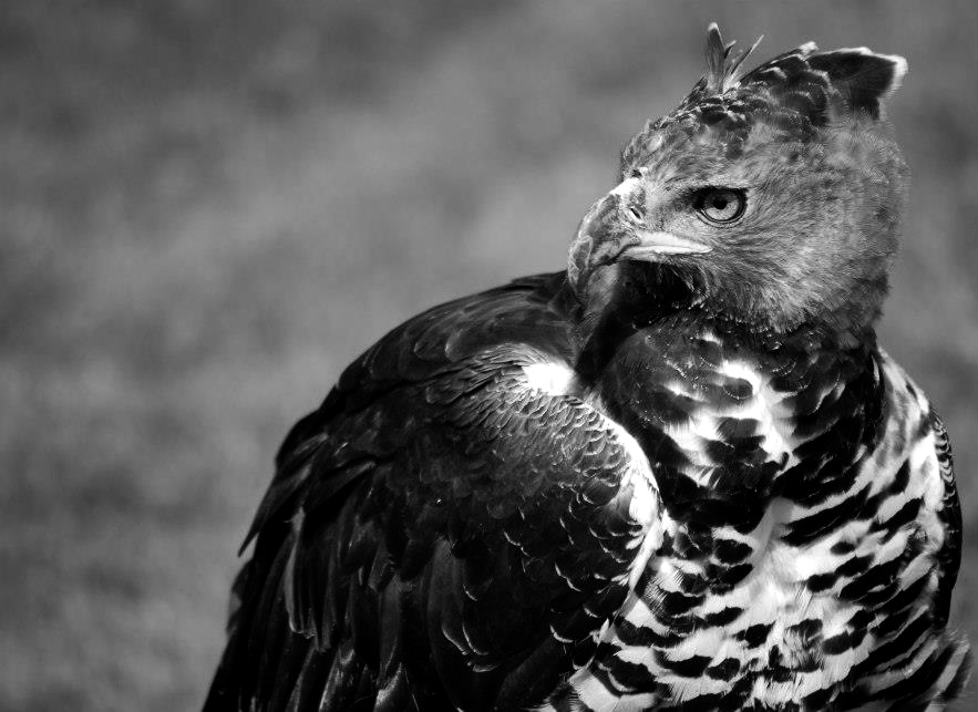 1700 best images about Different types of Eagles,Hawks ...  |African Crowned Eagle Falconry