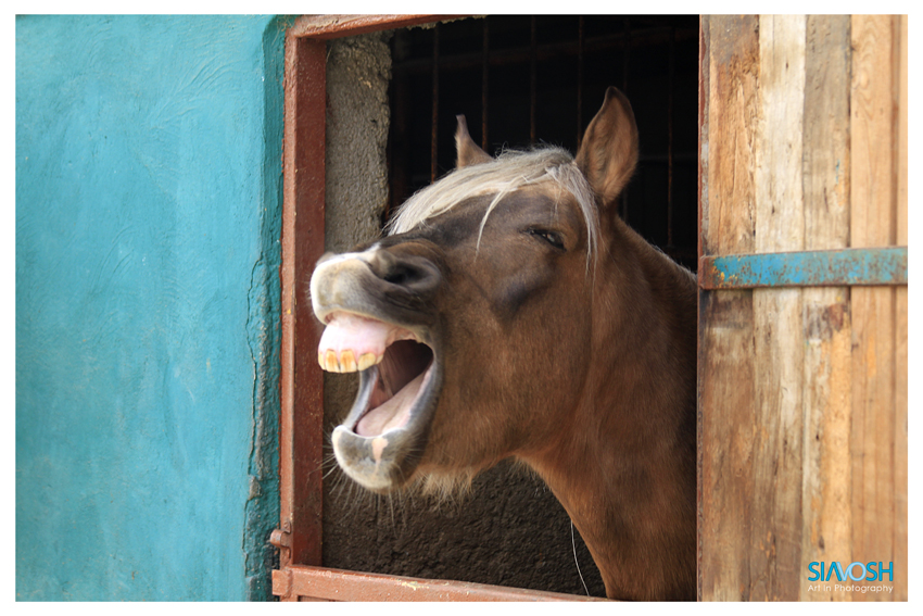 Laughing Horse Laughing horse by siavoshnik