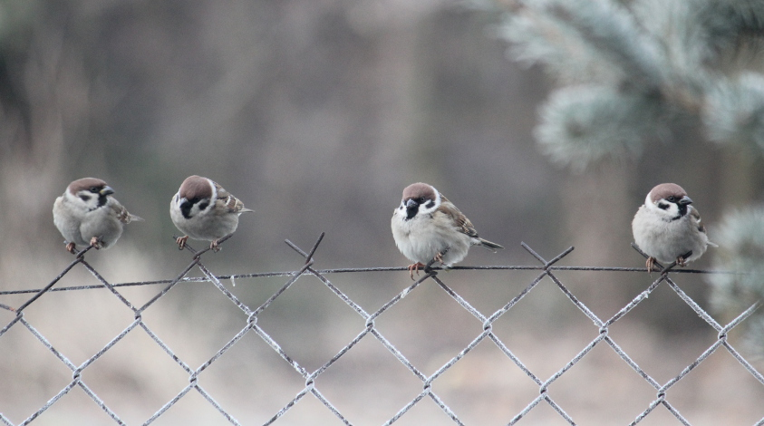 Tree Sparrows by Swallow6