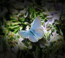 Common Grass Blue by jodipheonix