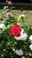 Rose by PokoPyon