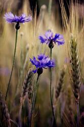 Corn Flowers by Justine1985