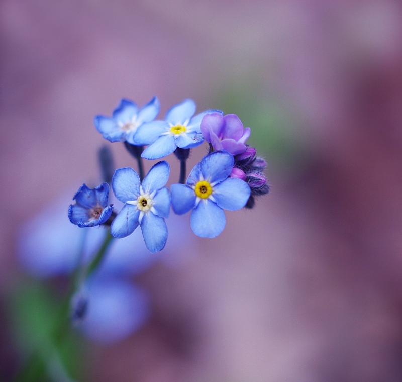 little blue flowers by Justine1985