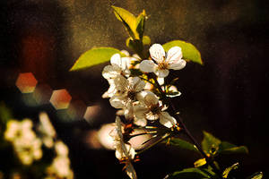 Plum Blossoms by Justine1985