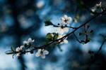 Cherry Blossom 2020