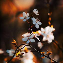 Plums Blossom