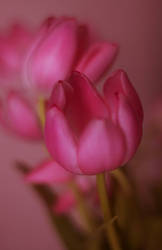 April Tulips vol.3