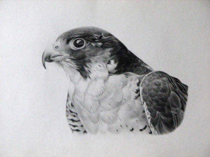 Peregrine Falcon Sketch Peregrine Falcon by Wengzhe