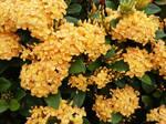 Bushel of Yellow