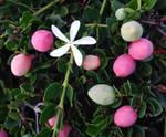 My White Star Flower