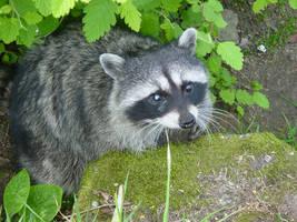 Raccoon by June-Gloom
