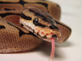 Spider Ball Python 1 by ReptileMan27