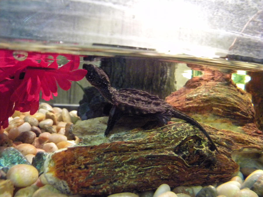 Baby Snapping Turtle 4 by ReptileMan27 on DeviantArt
