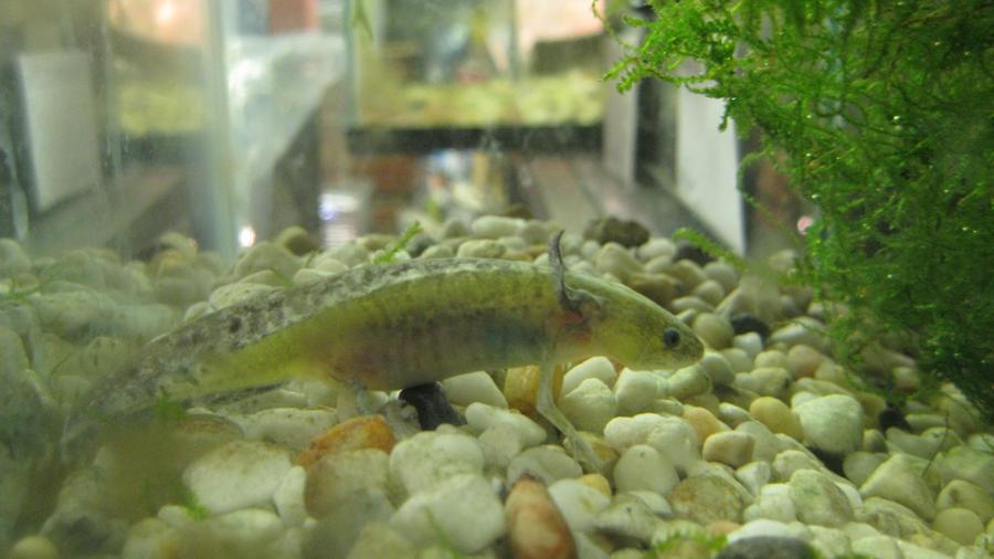 Axolotl by ReptileMan27