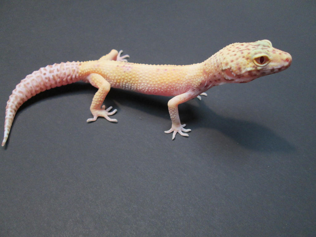 Bell Sunglow(male) by ReptileMan27