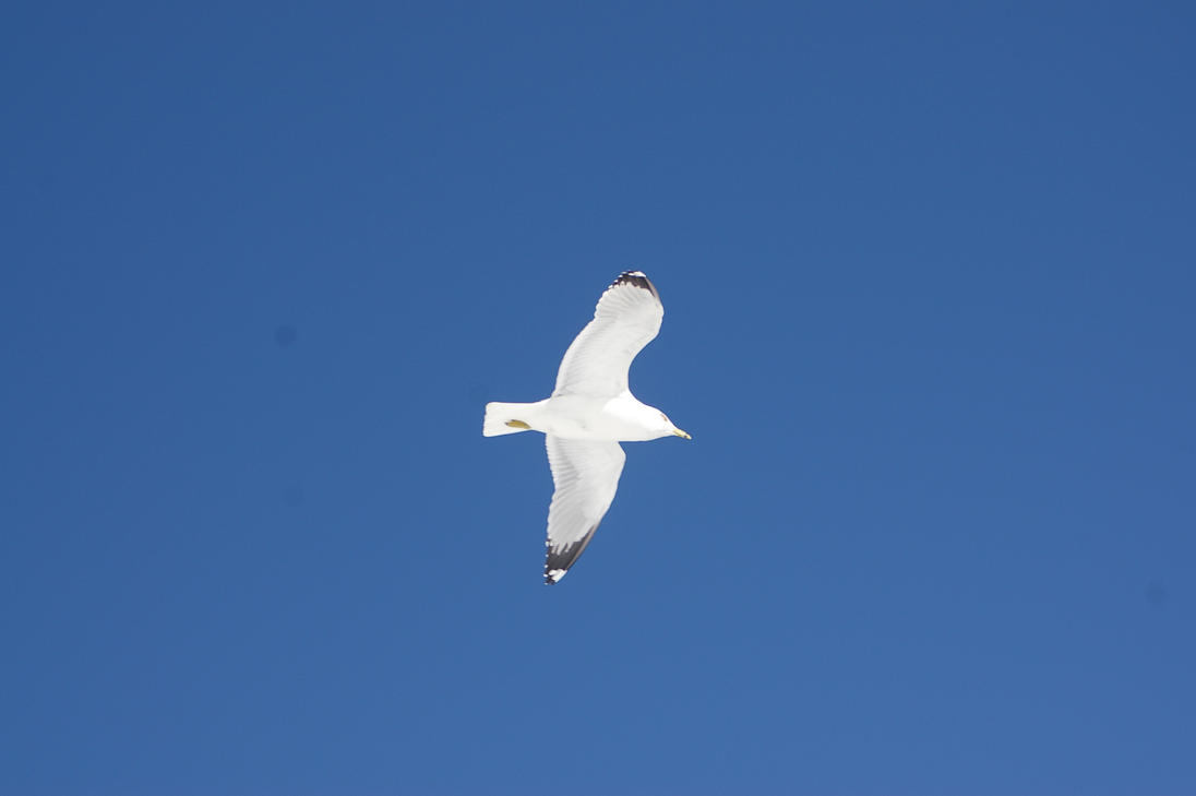 Ring-Billed Gull by uglygosling