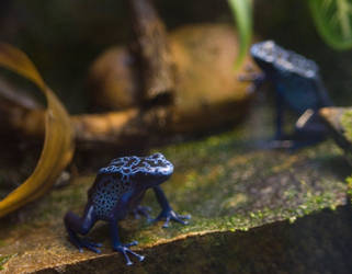 Blue Poison Dart Frogs 1 STOCK by slephoto