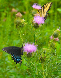 Swallowtails no. 01