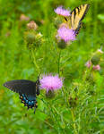 Swallowtails no. 01 by slephoto
