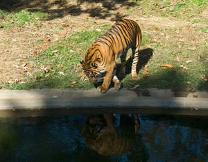 Tiger, Tyger STOCK