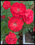 Red flowers No. 1