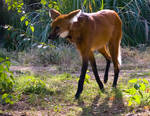 Maned Wolf No. 1 STOCK
