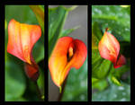 Calla lily triptych by slephoto