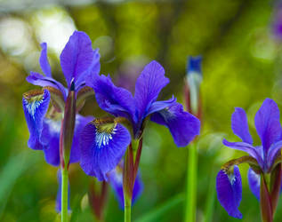 Purple Irises No. 1 by slephoto