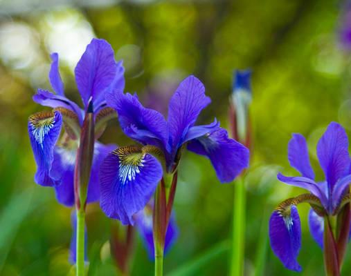 Purple Irises No. 1