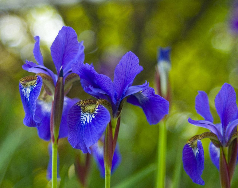 Purple Irises No. 1 by slephoto
