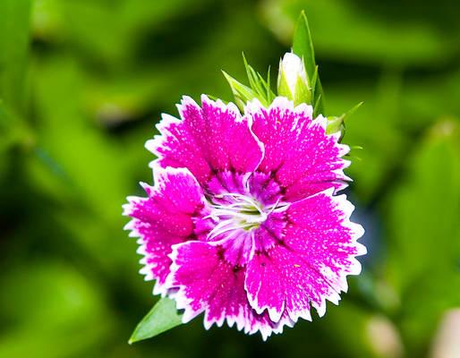 Dianthus No. 1