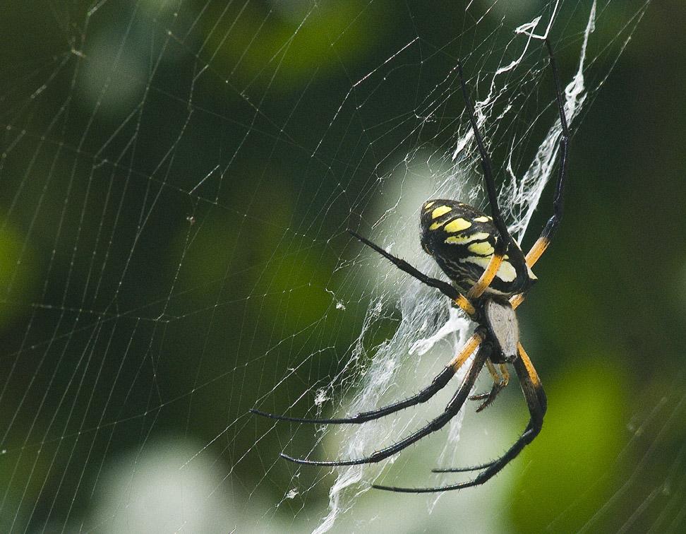 Black-Yellow Garden Spider 2 by slephoto