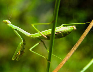 Green Praying Mantis No. 1 by slephoto