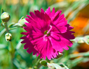 Dianthus Neon Star Hardy Pink No. 1